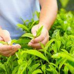 Fuji Tea Garden